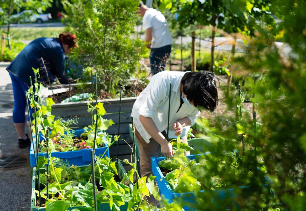 Kuvassa taloyhtiön asukkaat hoitavat kaupunkiviljelylaatikoita Vantaan Hakunilassa. Kuvaaja Markku Laine.